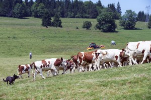 Dairy Farmers mountain milk -Auvergne-MILK COW-UHT-MOUNTAIN-DAIRY-SLVA
